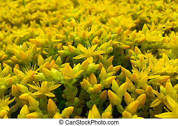 Yellow Sedum - Ornamental Moss Shoots Close-up, Yellow...