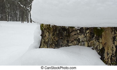 stump snow melt spring - old tree stump covered with melting...