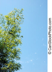 bamboo trees - hedge bamboo tree with blue sky background