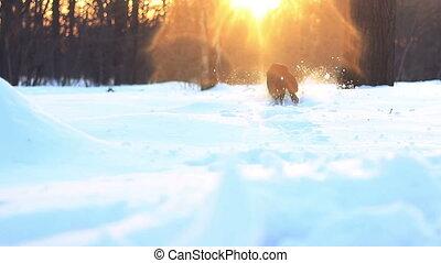 labrador run through deep snow - Black young labrador run...