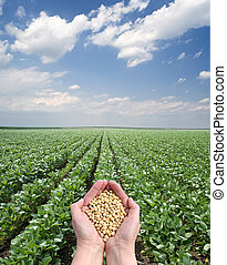 Agriculture - Human hand holding soybean, with field in...