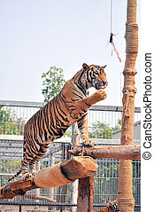 Tiger training - Tigers, like children and dogs, can be...