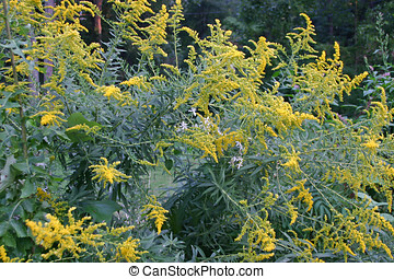 Flowering Ragweed - A large clump of ragweed with yellow...
