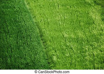 Rice fields green grass background