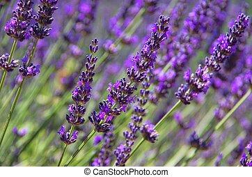 lavender 70a