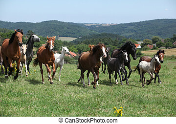 Herd of running horses on pasturage with some trees on the...