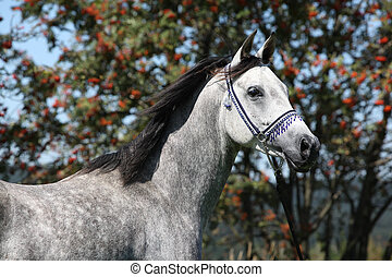 Nice arabian stallion with blue show halter in front of...