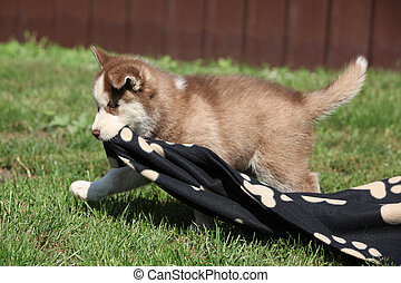 Siberian husky puppy running and holding a blanket