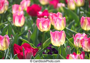 pink and white tulip flowers - this photo is taken in Mie...