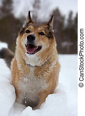 Happy dog play in the snow - Happy orange dog playing in the...