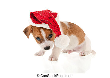 Christmas puppy - Six weeks old Jack Russel puppy dog as...
