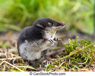 European Water Shrew in Natural Habitat - The Rare and...