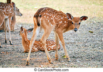 Sika deer cub - Japan has by far the largest native sika...