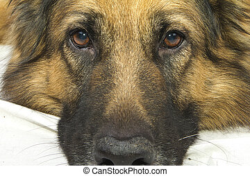 german shepherd - German Shepherd