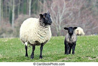 Ewe looking at me - Sheep and lamb looking sheepish