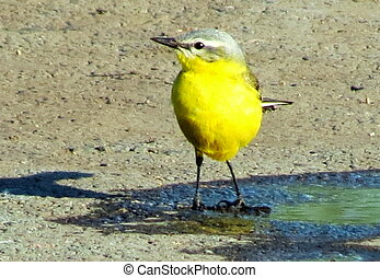 Yellow Wagtail - Yellow Wagtail is standing in a puddle near...