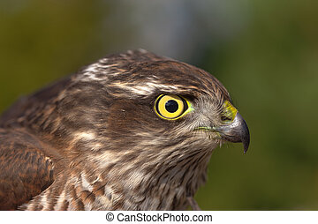 Pernis apivorus - Portrait of a bird of prey closeup