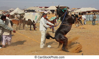 Indian man raised his horse at Pushkar camel fair in India