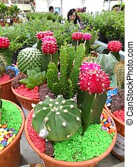 Cactus in the pot