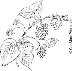 Raspberry branch - raspberry branch with ripe berry isolated...