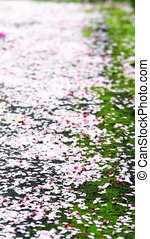 Cherry blossom petals on the ground for adv or others...
