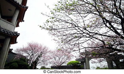 Nice sakura with temple