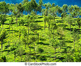 Tea plantation landscape India - Tea plantation landscape...