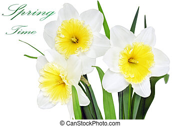 Beautiful spring three flowers : yellow-white narcissus...