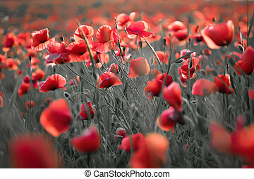 Poppies in Mazury, Poland