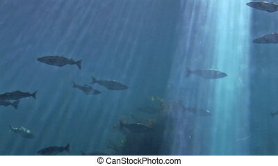 Marine life - Fish - Great Atlantic Tank at the Atlantic Sea...
