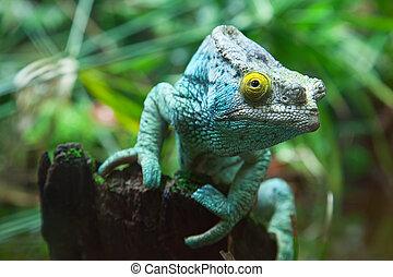 verde, camaleón