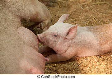 Young pigs - Young pig with mother in the barn