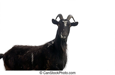 Portrait of goat on a white back - Portrait of black goat on...