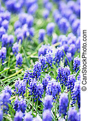 A field of blue common grape hyacinths - A flower bed of...