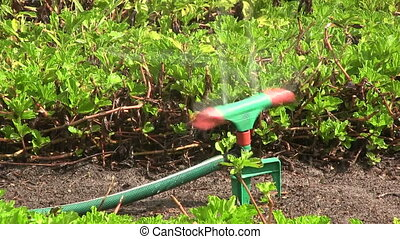 Water sprinkler irrigating a lawn.