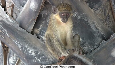 Juvenile Green monky. - Juvenile Callithrix monkey or Green...