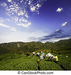tea garden with nice background for adv or others purpose...