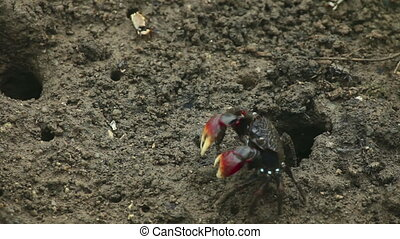 Rivalry - Two crabs preparing to fight.
