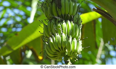 Bananas - Fruit stalk of bananas on banana tree.