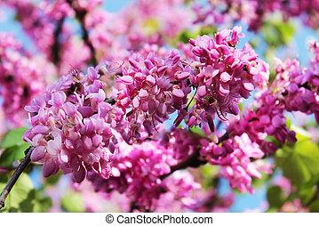 flowers of judas tree - red flowers of judas tree on a...