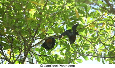 Flying foxes - Two flying foxes Rousettus having rest on a...