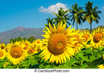 field of sunflower  on the cloudy blue sky with palm trees and mountains