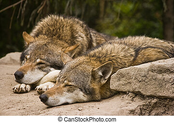 Wolves - Grey wolves resting in the early morning sun