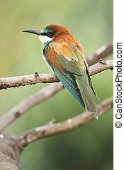 European Bee-eater resting on a branch