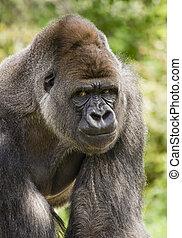 Silverback gorilla - Big silverback gorilla looking angry...