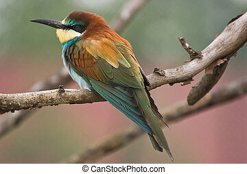 European Bee-eater sitting on a branch