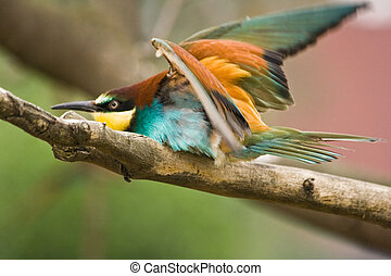 European Bee-eater ready for take off