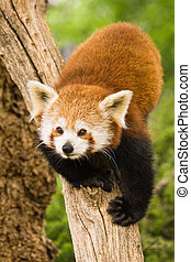 Red Pandas are most active at dawn and dusk and live in the...