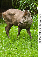 tufted Deer - The small tufted Deer lives retiring in the...
