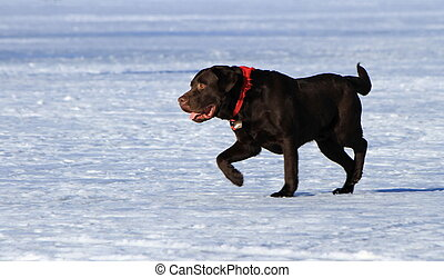 Labrador retriever dog - Black labrador retriever dog...